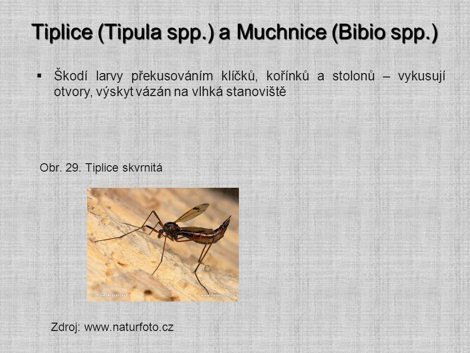 Tiplice (Tipula spp.) a Muchnice (Bibio spp.)  Škodí larvy překusováním klíčků, kořínků a stolonů – vykusují otvory, výskyt vázán na vlhká stanoviště