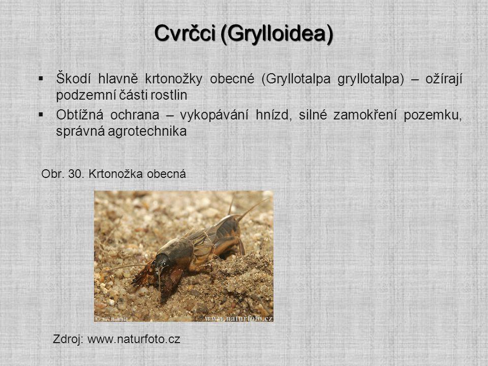 Cvrčci (Grylloidea)  Škodí hlavně krtonožky obecné (Gryllotalpa gryllotalpa) – ožírají podzemní části rostlin  Obtížná ochrana – vykopávání hnízd, s