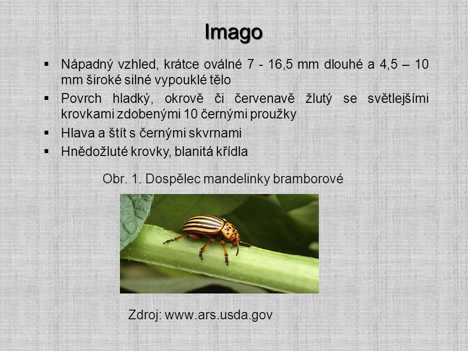 Imago  Nápadný vzhled, krátce oválné 7 - 16,5 mm dlouhé a 4,5 – 10 mm široké silné vypouklé tělo  Povrch hladký, okrově či červenavě žlutý se světle