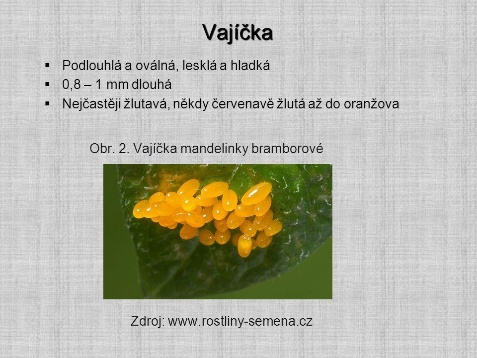 Vajíčka  Podlouhlá a oválná, lesklá a hladká  0,8 – 1 mm dlouhá  Nejčastěji žlutavá, někdy červenavě žlutá až do oranžova Obr. 2. Vajíčka mandelink