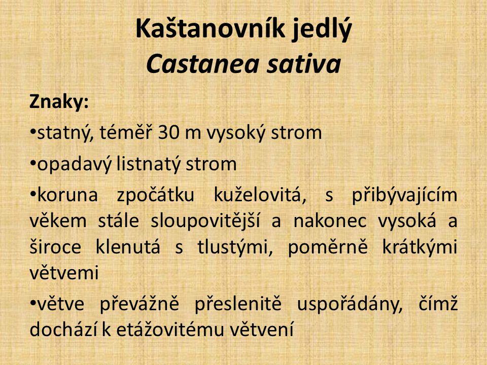 Kaštanovník jedlý Castanea sativa Kmen: poměrně tlustý většinou již nízko nad zemí rozvětvený, častěji pokroucený Borka: zpočátku hladká a šedočervená, později temněji hnědošedá, s hustou sítí vyniklých lišt a vyhloubených rýh