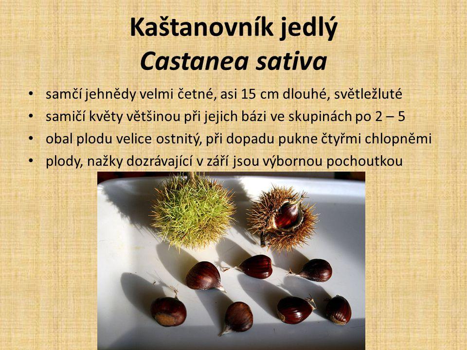 Kaštanovník jedlý Castanea sativa samčí jehnědy velmi četné, asi 15 cm dlouhé, světležluté samičí květy většinou při jejich bázi ve skupinách po 2 – 5 obal plodu velice ostnitý, při dopadu pukne čtyřmi chlopněmi plody, nažky dozrávající v září jsou výbornou pochoutkou