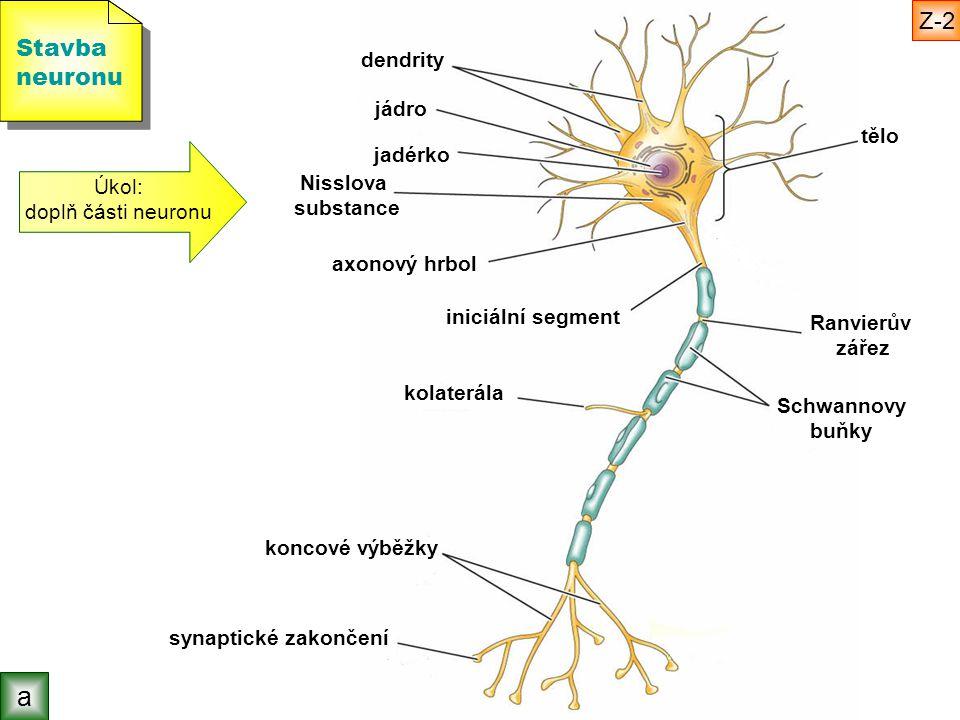 Stavba neuronu Stavba neuronu Úkol: doplň části neuronu tělo jadérko jádro dendrity axonový hrbol iniciální segment Ranvierův zářez kolaterála koncové výběžky synaptické zakončení Nisslova substance b Z-3