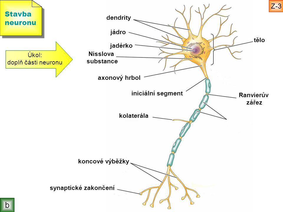 Stavba neuronu Stavba neuronu Úkol: doplň části neuronu tělo jadérko jádro dendrity axonový hrbol iniciální segment Ranvierův zářez kolaterála koncové