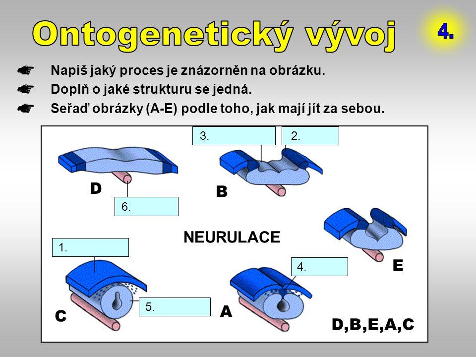 Napiš jaký proces je znázorněn na obrázku. Doplň o jaké strukturu se jedná. Seřaď obrázky (A-E) podle toho, jak mají jít za sebou. D A B C E 5. n.trub