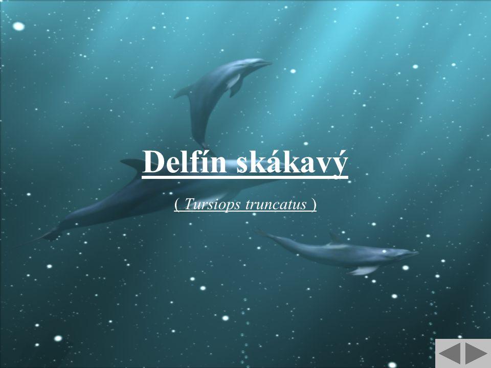 Delfín skákavý ( Tursiops truncatus )