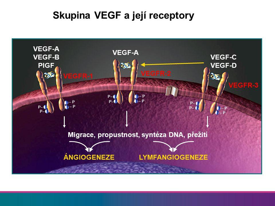 Angiogeneze (VEGF) u ovariálního karcinomu Preklinická data Onkogeny (PIK3CA) podporují expresi VEGF Inhibitory VEGF inhibují růst nádoru, snižují tvorbu ascitu a normalizují cévy Klinická data Hustota mikrocév (CD31 nebo CD105) a hypoxie souvisejí se špatnou prognózou VEGF je nadměrně exprimován, horší výsledky Souvislost s karcinomatózou a ascitem Inhibitory VEGF působí synergně s chemoterapií 5 4,5 4 3 2,5 1,5 0,5 Velikost nádoru (g) 3,5 2 1 0 KontrolaInhibitor VEGF *p<0,001 Zhang, et al.