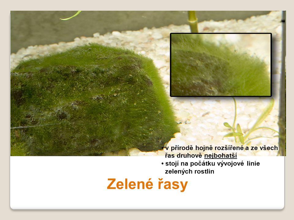 Zelené řasy v přírodě hojně rozšířené a ze všech řas druhově nejbohatší stojí na počátku vývojové linie zelených rostlin