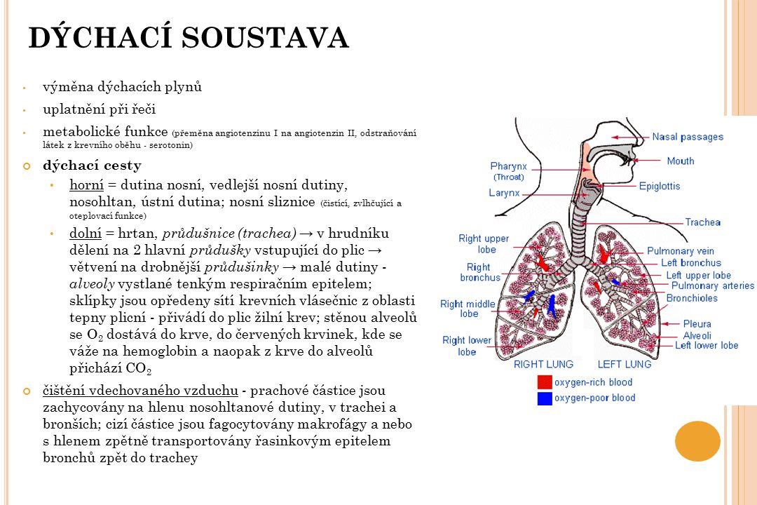 P LÍCE ( PULMO ) vlastní dýchací párový orgán houbovitá a elastická tkáň průdušinky se větví do sklípkových chodbiček - nasedají na ně plicní váčky a sklípky vnitřní povrch sklípků pokrývá vrstva tekutiny ( surfaktant ) usnadňující dýchání (vrstva tuků a bílkovin) levá plíce je menší – utlačována srdcem plicní sklípky ( alveoly ) zvětšují plochu (90 m 2 → 40x více než plocha těla), asi 300 mil pohrudnice ( pleura parietalis ) - vystýlá hrudník a dotýká se mezižeberních svalů poplicnice ( p.