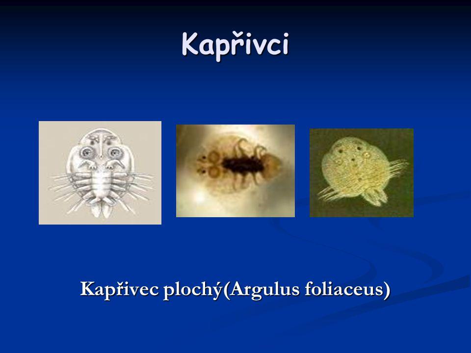 Kapřivci Kapřivec plochý(Argulus foliaceus)