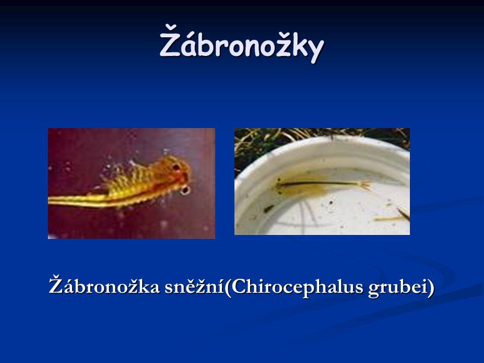 Žábronožky Žábronožka sněžní(Chirocephalus grubei)