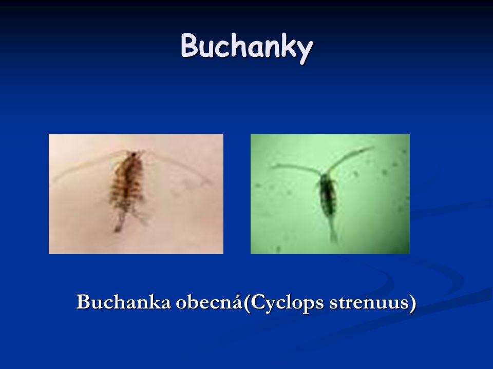 Buchanky Buchanka obecná(Cyclops strenuus)