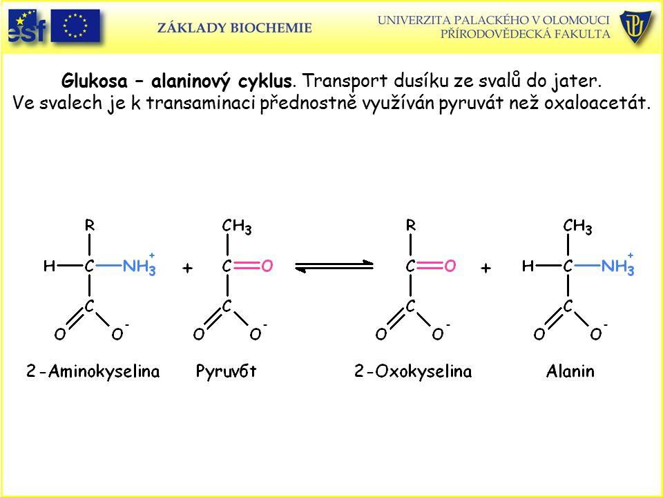Glukosa – alaninový cyklus. Transport dusíku ze svalů do jater. Ve svalech je k transaminaci přednostně využíván pyruvát než oxaloacetát.