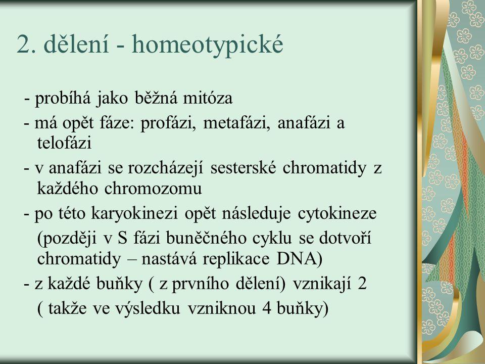 2. dělení - homeotypické - probíhá jako běžná mitóza - má opět fáze: profázi, metafázi, anafázi a telofázi - v anafázi se rozcházejí sesterské chromat
