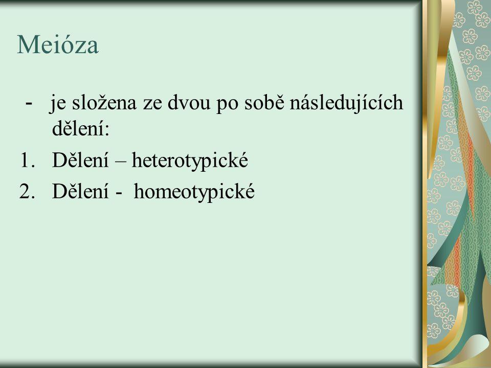 Meióza - je složena ze dvou po sobě následujících dělení: 1.Dělení – heterotypické 2.Dělení - homeotypické