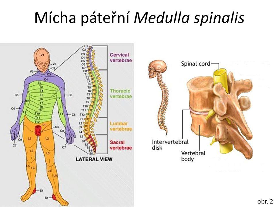 Mícha páteřní Medulla spinalis obr. 2