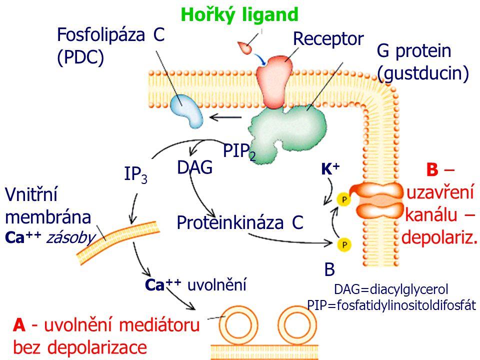 Hořký ligand Receptor G protein (gustducin) Fosfolipáza C (PDC) PIP 2 DAG IP 3 Vnitřní membrána Ca ++ zásoby Ca ++ uvolnění A - uvolnění mediátoru bez depolarizace Proteinkináza C K+K+ B – uzavření kanálu – depolariz.