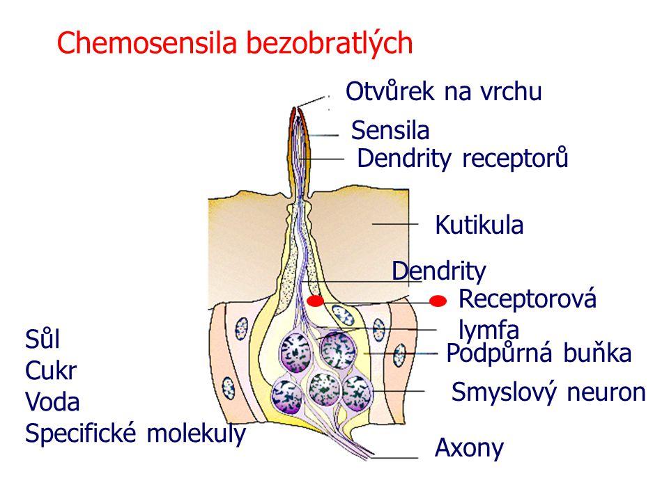 Chemosensila bezobratlých Otvůrek na vrchu Sensila Dendrity receptorů Kutikula Dendrity Receptorová lymfa Podpůrná buňka Smyslový neuron Axony Sůl Cukr Voda Specifické molekuly