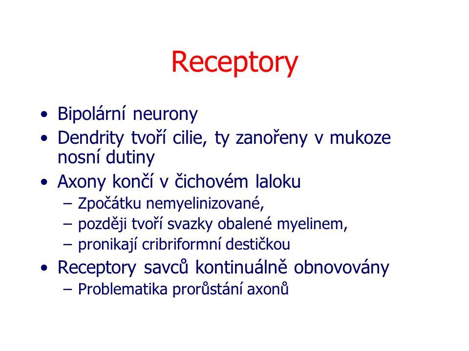 Receptory Bipolární neurony Dendrity tvoří cilie, ty zanořeny v mukoze nosní dutiny Axony končí v čichovém laloku –Zpočátku nemyelinizované, –později tvoří svazky obalené myelinem, –pronikají cribriformní destičkou Receptory savců kontinuálně obnovovány –Problematika prorůstání axonů
