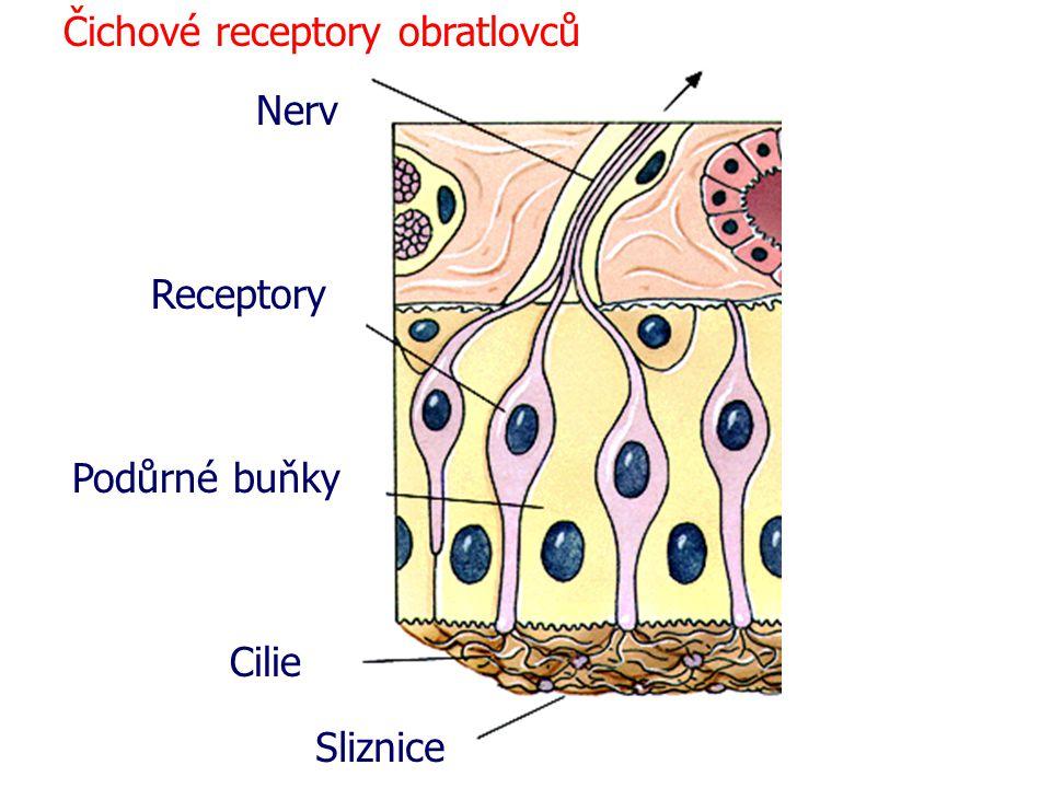 Cilie Sliznice Podůrné buňky Receptory Nerv Čichové receptory obratlovců