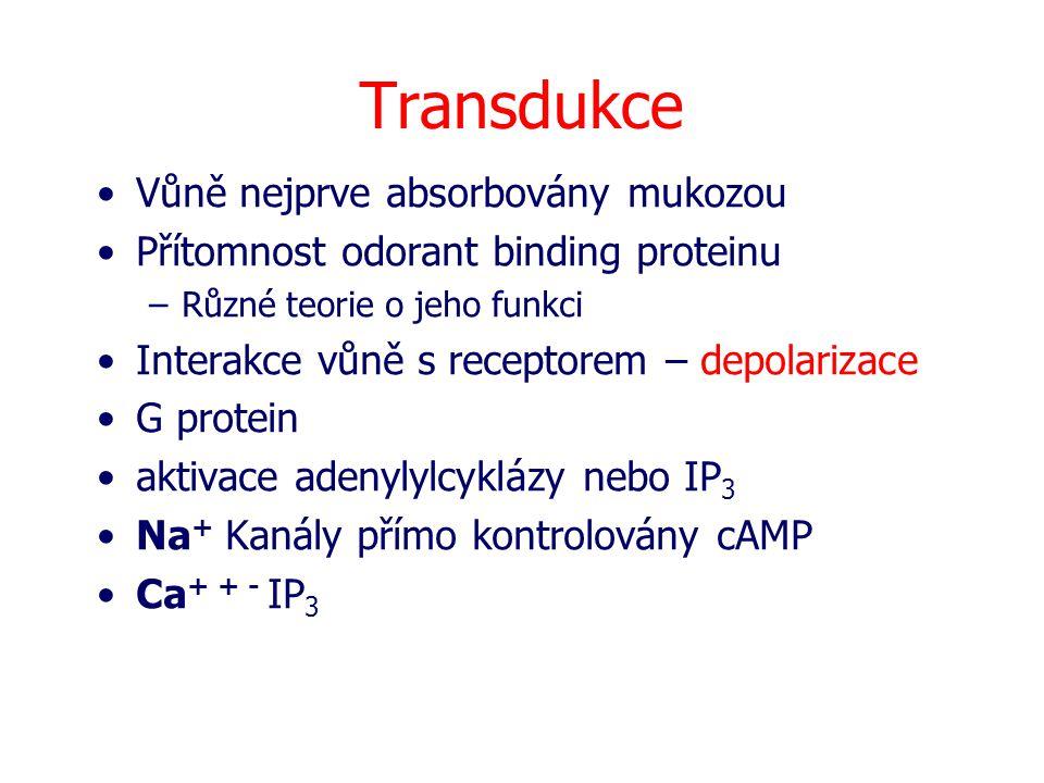 Transdukce Vůně nejprve absorbovány mukozou Přítomnost odorant binding proteinu –Různé teorie o jeho funkci Interakce vůně s receptorem – depolarizace G protein aktivace adenylylcyklázy nebo IP 3 Na + Kanály přímo kontrolovány cAMP Ca + + - IP 3