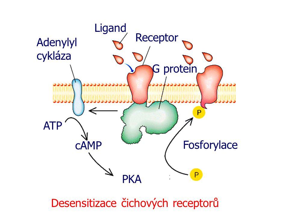 Ligand Receptor G protein Adenylyl cykláza ATP cAMP PKA Fosforylace Desensitizace čichových receptorů