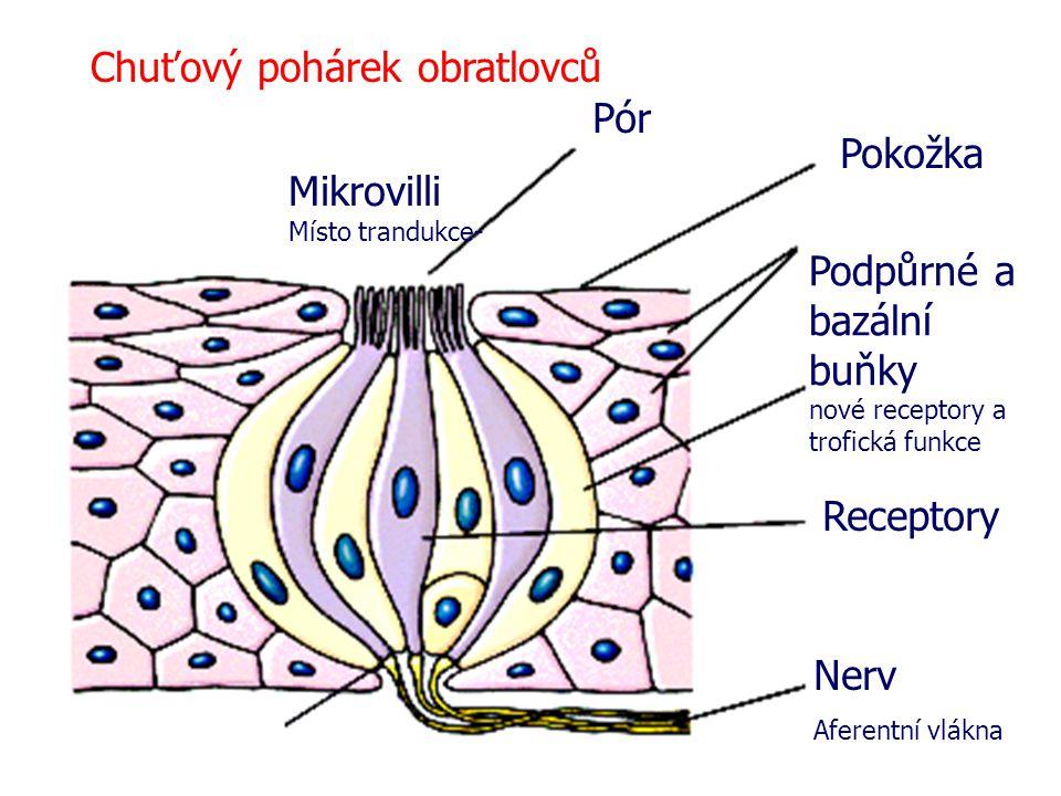 Chuťový pohárek obratlovců Pór Pokožka Podpůrné a bazální buňky nové receptory a trofická funkce Receptory Nerv Aferentní vlákna Mikrovilli Místo tran