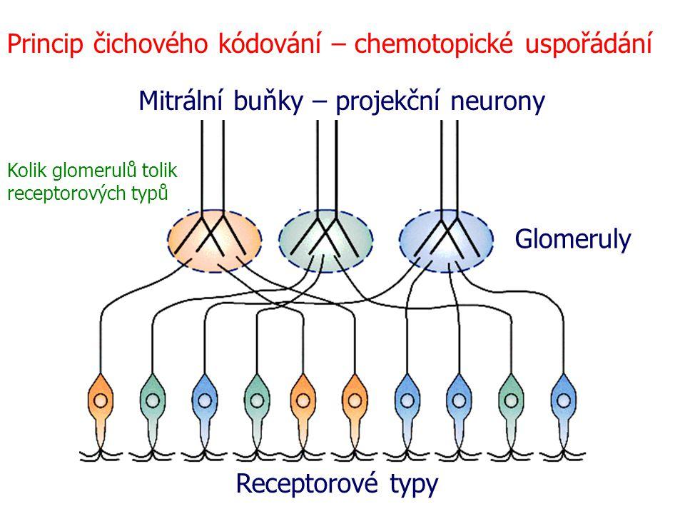 Princip čichového kódování – chemotopické uspořádání Glomeruly Receptorové typy Mitrální buňky – projekční neurony Kolik glomerulů tolik receptorových typů
