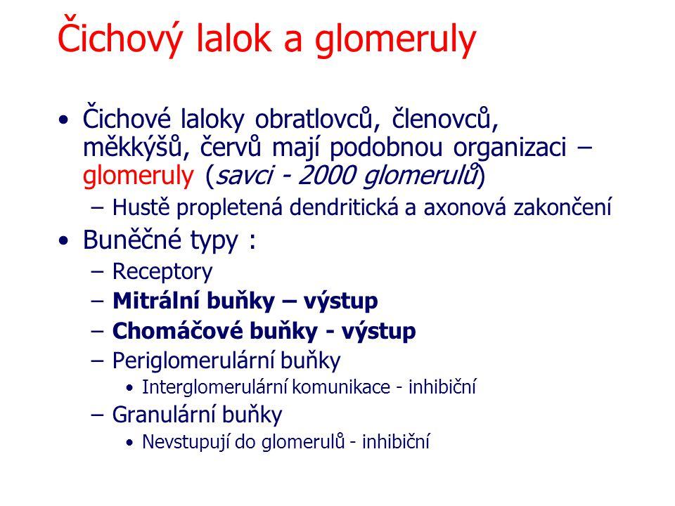 Čichový lalok a glomeruly Čichové laloky obratlovců, členovců, měkkýšů, červů mají podobnou organizaci – glomeruly (savci - 2000 glomerulů) –Hustě propletená dendritická a axonová zakončení Buněčné typy : –Receptory –Mitrální buňky – výstup –Chomáčové buňky - výstup –Periglomerulární buňky Interglomerulární komunikace - inhibiční –Granulární buňky Nevstupují do glomerulů - inhibiční