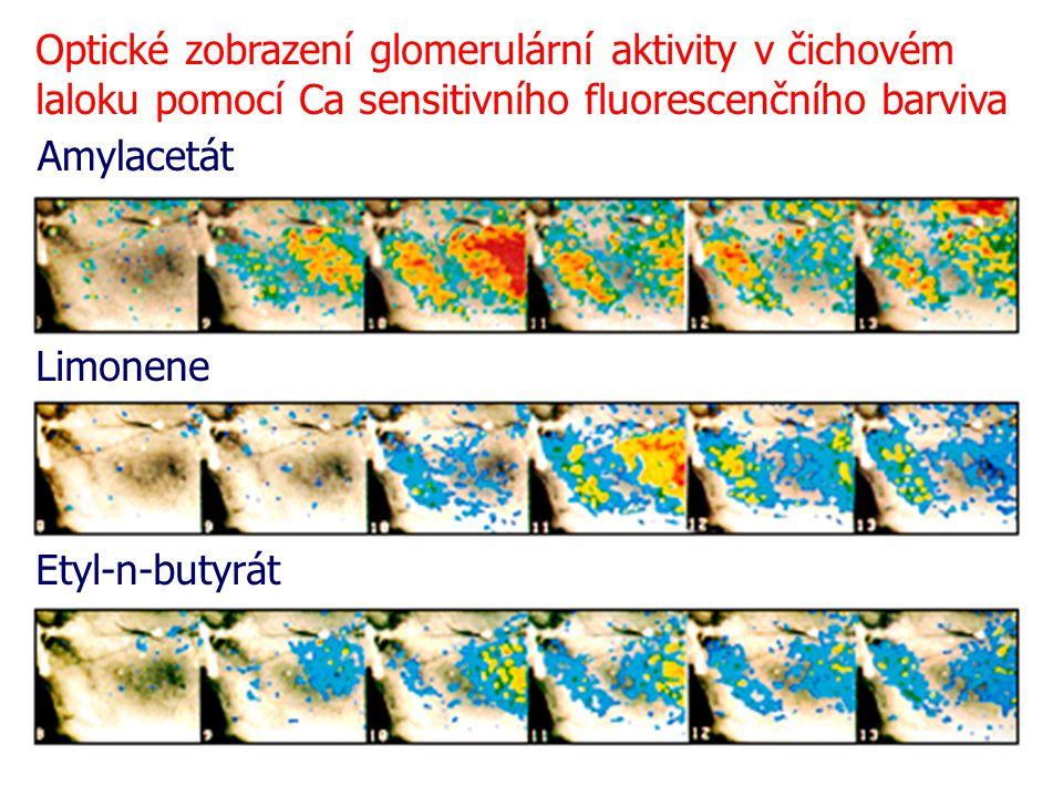 Amylacetát Limonene Etyl-n-butyrát Optické zobrazení glomerulární aktivity v čichovém laloku pomocí Ca sensitivního fluorescenčního barviva