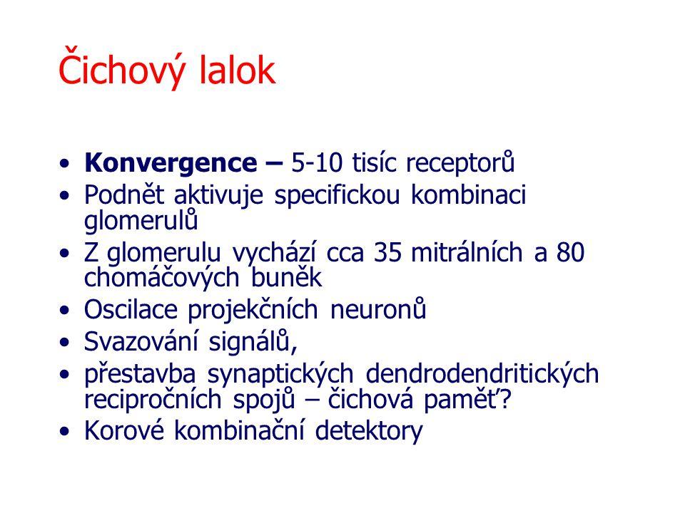 Čichový lalok Konvergence – 5-10 tisíc receptorů Podnět aktivuje specifickou kombinaci glomerulů Z glomerulu vychází cca 35 mitrálních a 80 chomáčových buněk Oscilace projekčních neuronů Svazování signálů, přestavba synaptických dendrodendritických recipročních spojů – čichová paměť.