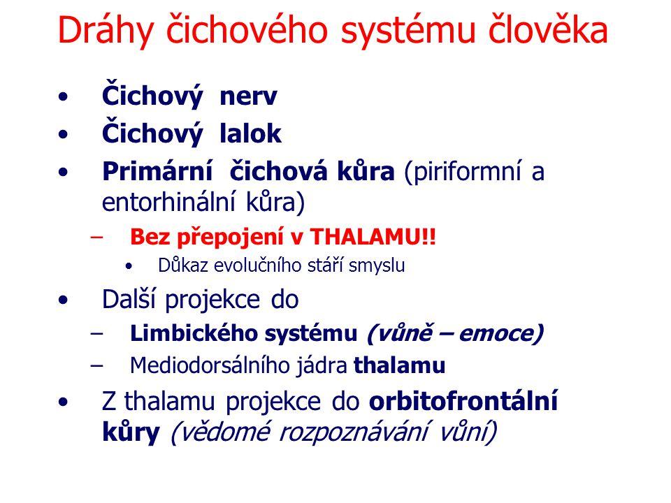 Dráhy čichového systému člověka Čichový nerv Čichový lalok Primární čichová kůra (piriformní a entorhinální kůra) –Bez přepojení v THALAMU!! Důkaz evo