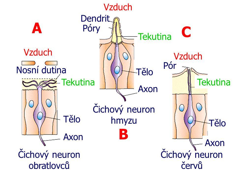 Čichový neuron obratlovců Čichový neuron hmyzu Čichový neuron červů Tekutina Tělo Axon Nosní dutina Vzduch Tekutina Tělo Axon A B C Dendrit Póry Pór