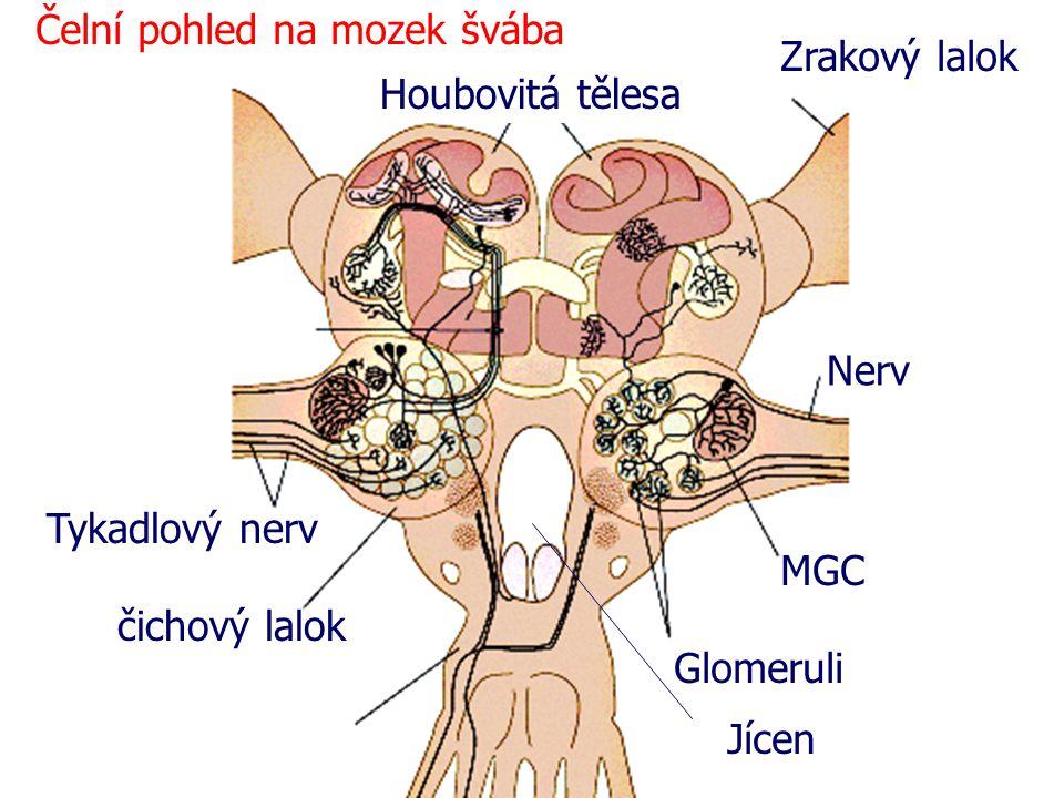Čelní pohled na mozek švába Tykadlový nerv čichový lalok Glomeruli MGC Nerv Zrakový lalok Houbovitá tělesa Jícen