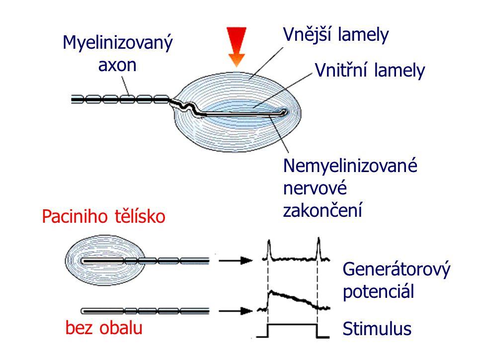 Myelinizovaný axon Vnější lamely Vnitřní lamely Nemyelinizované nervové zakončení Stimulus Generátorový potenciál bez obalu Paciniho tělísko