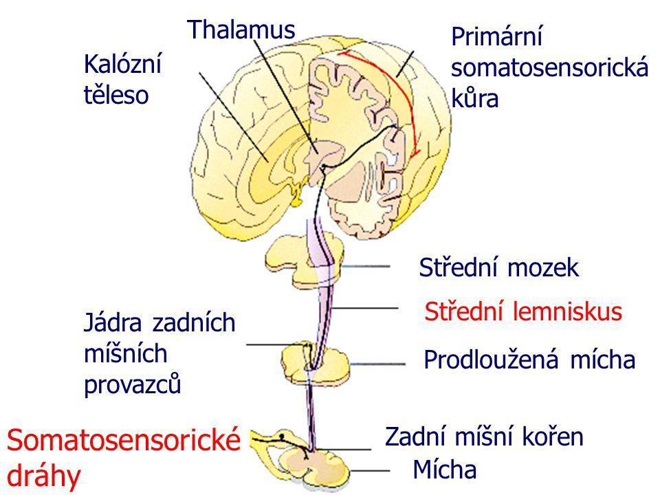 Zadní míšní kořen Mícha Prodloužená mícha Střední mozek Střední lemniskus Primární somatosensorická kůra Thalamus Kalózní těleso Jádra zadních míšních provazců Somatosensorické dráhy