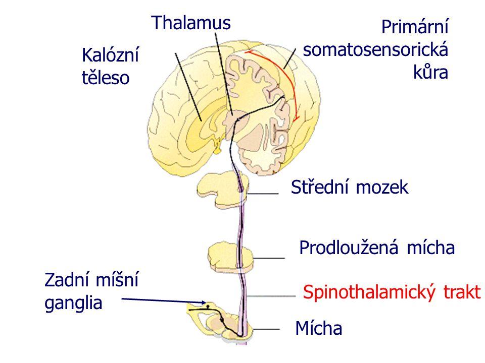 Mícha Spinothalamický trakt Prodloužená mícha Střední mozek Primární somatosensorická kůra Thalamus Kalózní těleso Zadní míšní ganglia