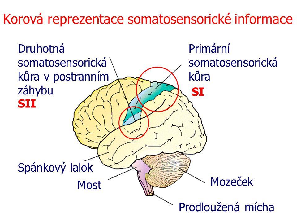 Korová reprezentace somatosensorické informace Spánkový lalok Most Prodloužená mícha Mozeček Primární somatosensorická kůra Druhotná somatosensorická kůra v postranním záhybu SI SII