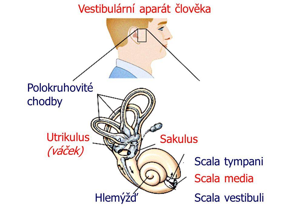 Polokruhovité chodby Utrikulus (váček) Hlemýžď Sakulus Scala tympani Scala media Scala vestibuli Vestibulární aparát člověka