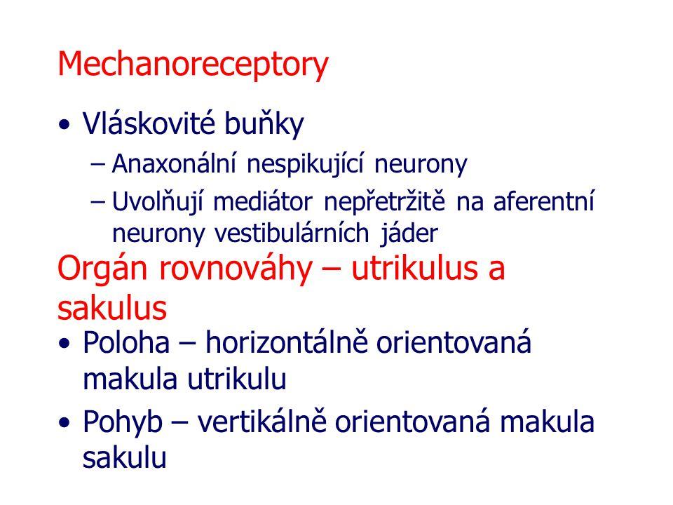 Mechanoreceptory Vláskovité buňky –Anaxonální nespikující neurony –Uvolňují mediátor nepřetržitě na aferentní neurony vestibulárních jáder Orgán rovnováhy – utrikulus a sakulus Poloha – horizontálně orientovaná makula utrikulu Pohyb – vertikálně orientovaná makula sakulu