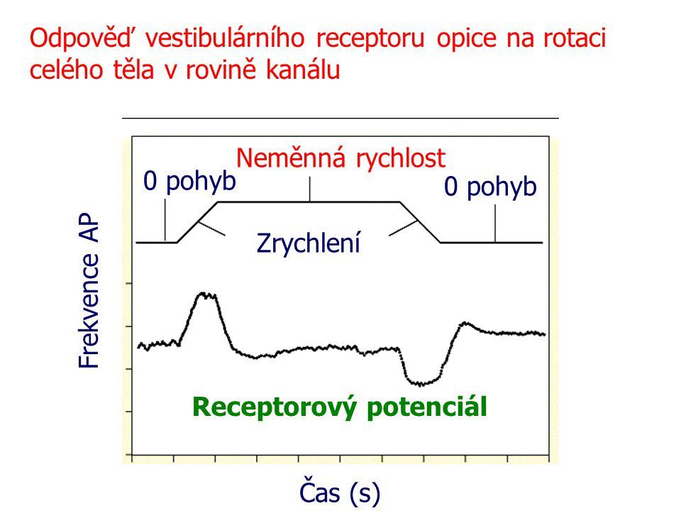 Odpověď vestibulárního receptoru opice na rotaci celého těla v rovině kanálu 0 pohyb Neměnná rychlost Zrychlení Čas (s) Frekvence AP Receptorový poten