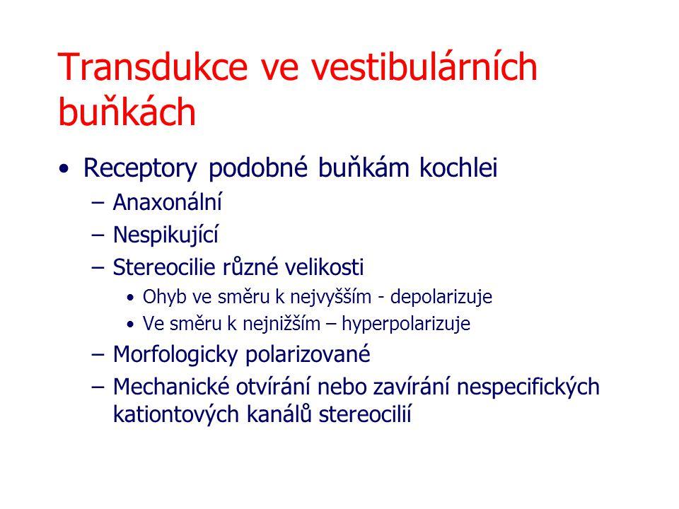 Transdukce ve vestibulárních buňkách Receptory podobné buňkám kochlei –Anaxonální –Nespikující –Stereocilie různé velikosti Ohyb ve směru k nejvyšším