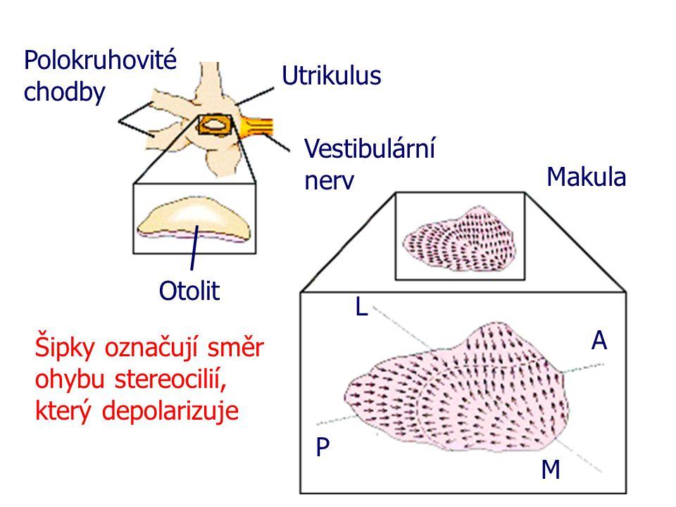 Polokruhovité chodby Utrikulus Vestibulární nerv Otolit Makula L P A M Šipky označují směr ohybu stereocilií, který depolarizuje