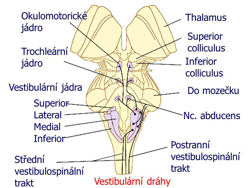 Thalamus Superior colliculus Inferior colliculus Do mozečku Nc. abducens Postranní vestibulospinální trakt Střední vestibulospinální trakt Vestibulárn