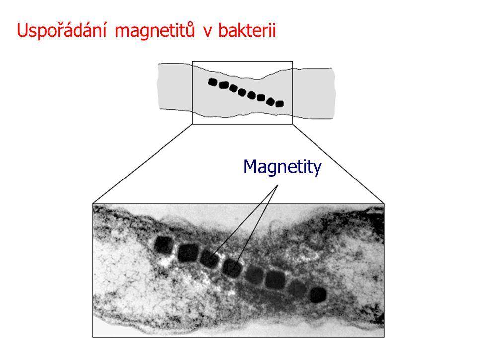 Magnetity Uspořádání magnetitů v bakterii