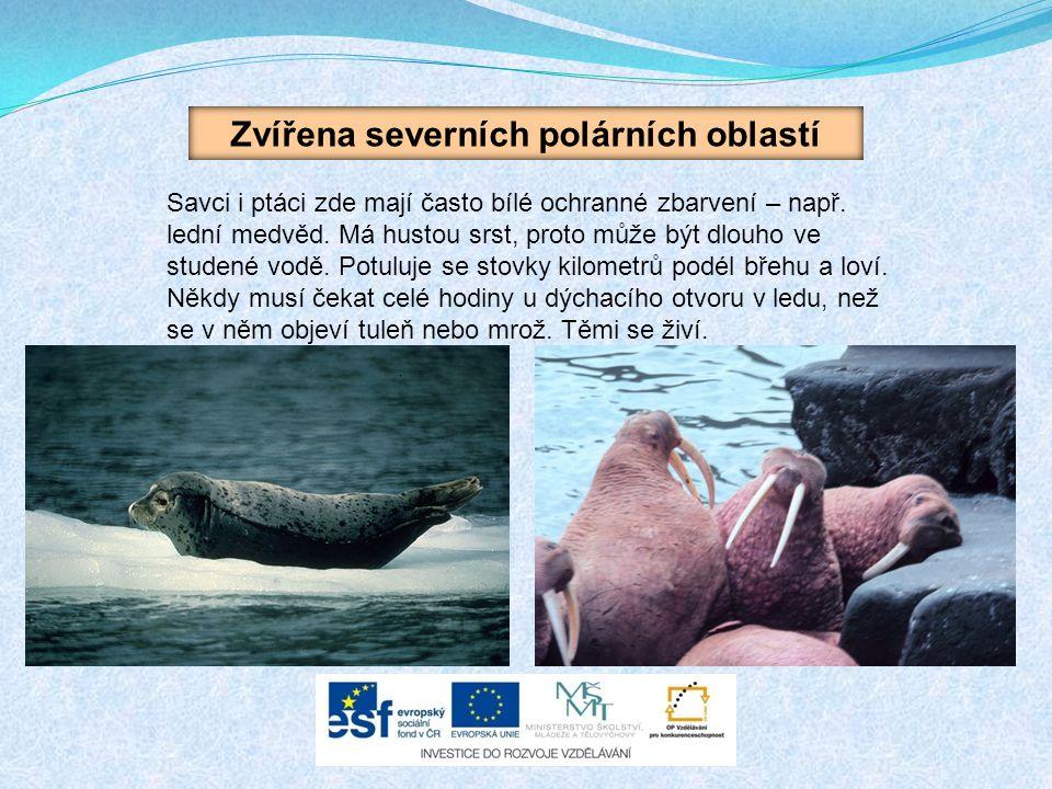 Zvířena severních polárních oblastí Savci i ptáci zde mají často bílé ochranné zbarvení – např.