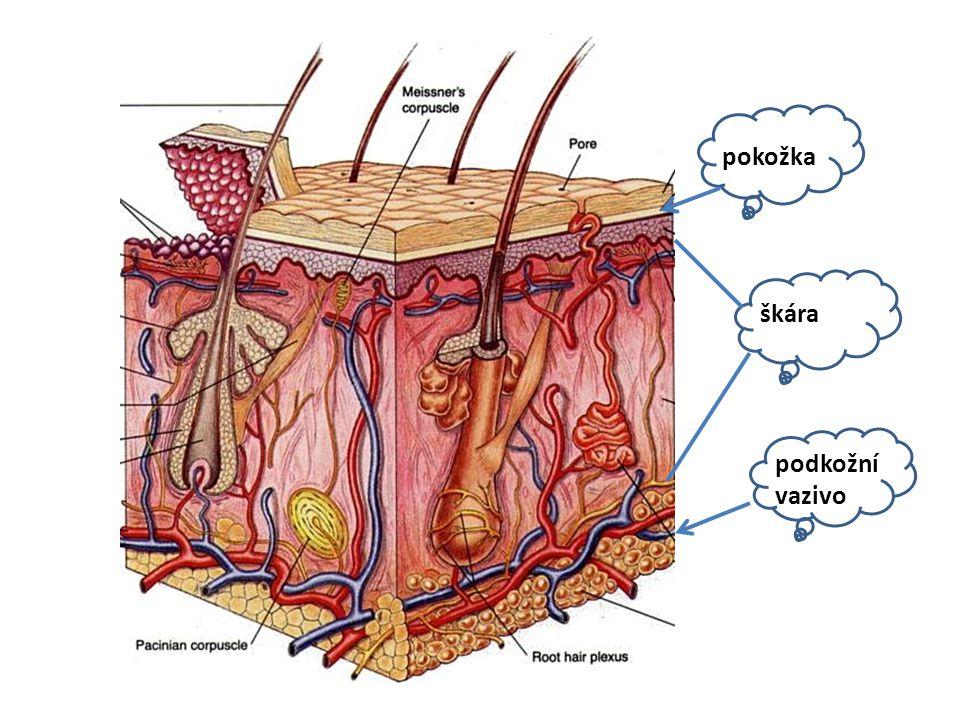 pokožka škára podkožní vazivo