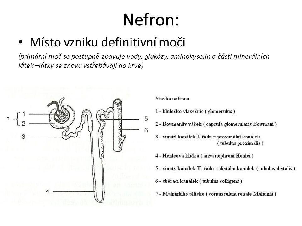 Nefron: Místo vzniku definitivní moči (primární moč se postupně zbavuje vody, glukózy, aminokyselin a části minerálních látek –látky se znovu vstřebáv