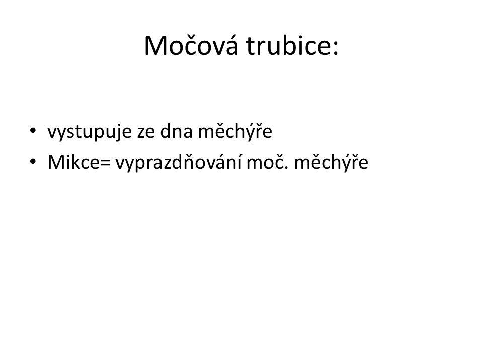 Močová trubice: vystupuje ze dna měchýře Mikce= vyprazdňování moč. měchýře