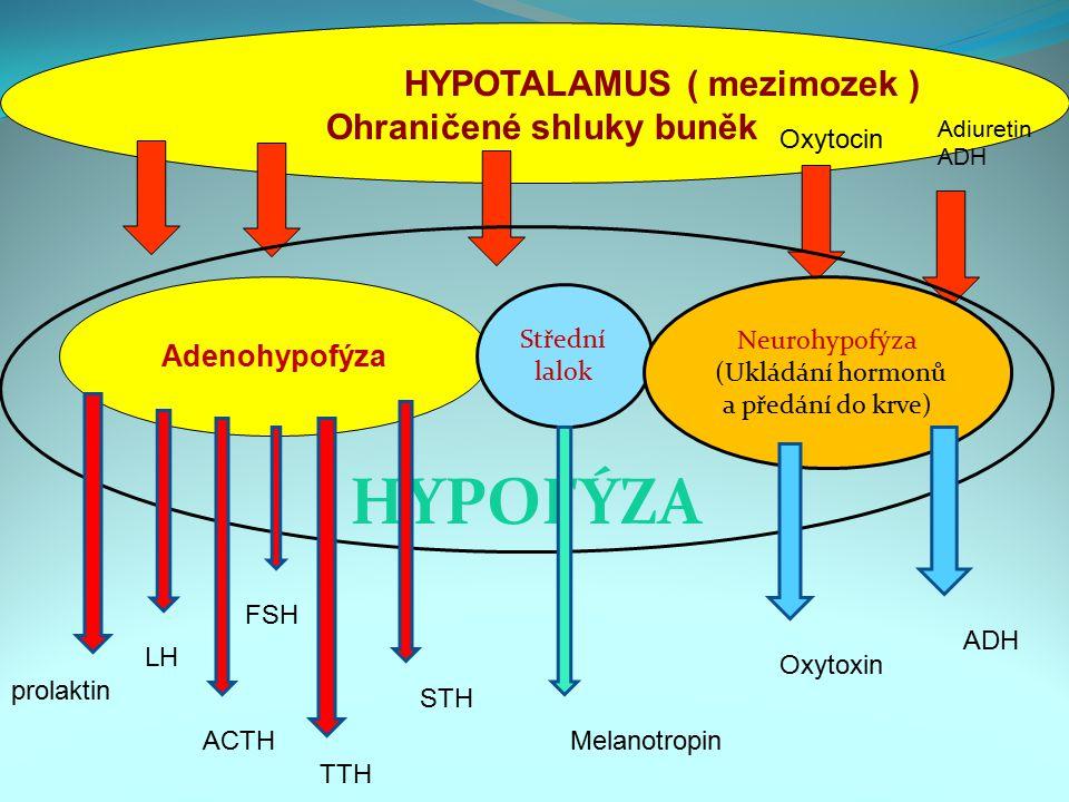 HYPOTALAMUS ( mezimozek ) Ohraničené shluky buněk Adenohypofýza Střední lalok Neurohypofýza (Ukládání hormonů a předání do krve) HYPOFÝZA Adiuretin AD